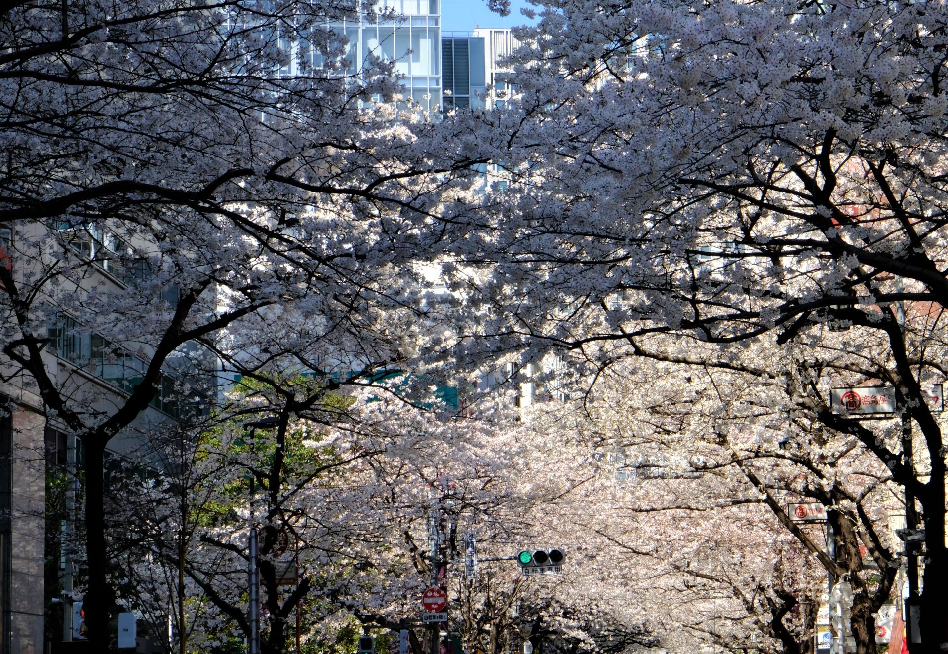 日本橋のお花見情報2020