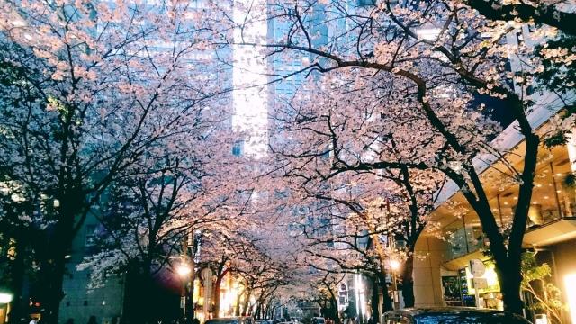 日本橋さくら通りのお花見